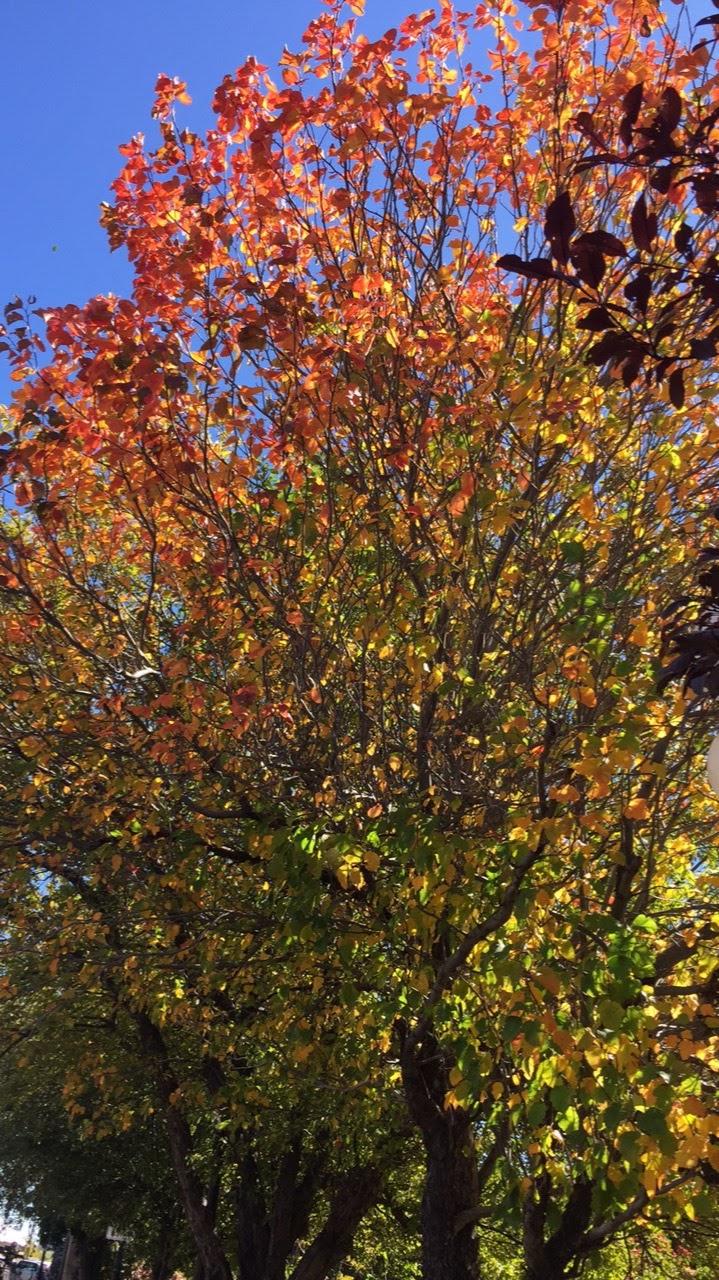 Blushing Tree
